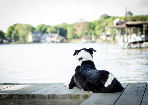 Free stock photo of at the lake, black and white, border collie, canine