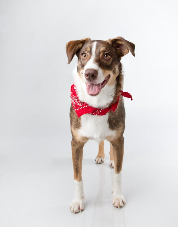 A Dog with Red Bandana on its Neck