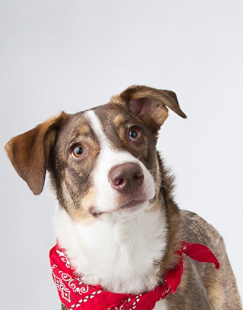 Brown and White Short Coated Dog With Red Bandana