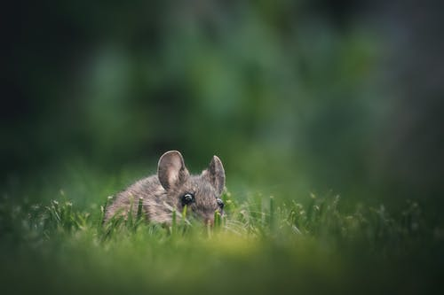 Mouse on Green Grass