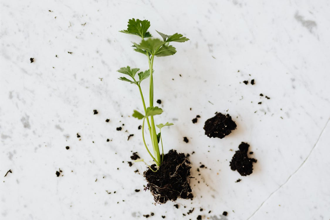 From above of small fresh parsley sprout with soil on roots placed on white marble surface waiting for planting or healthy dish adding