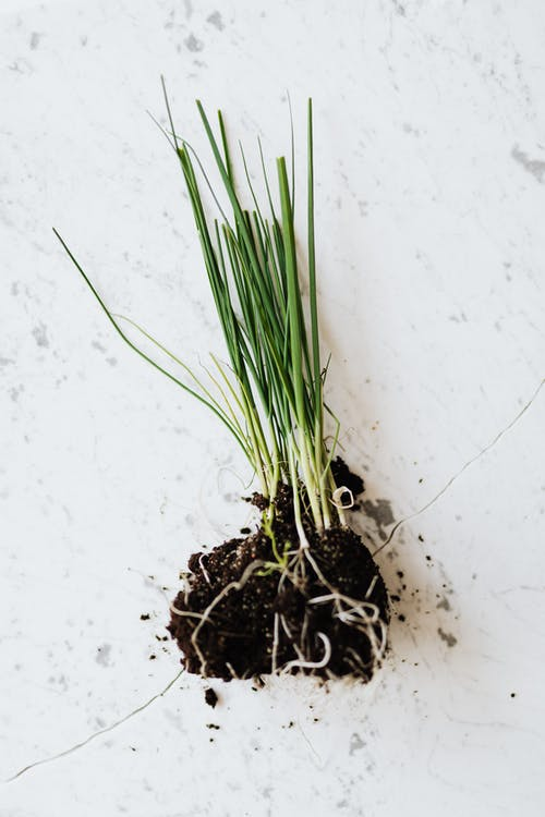 Green seedling of chives on marble table