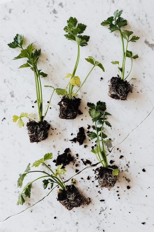 Green seedlings of parsley on marble desk