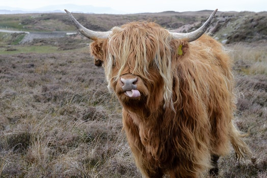 Free stock photo of nature, animal, cow, scotland
