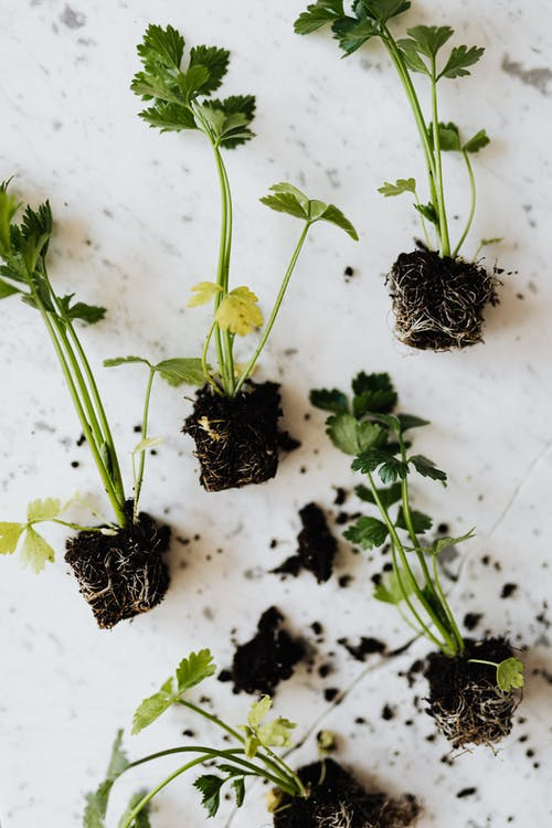 Top view of parsley seedlings with thin stems and green leaves with black ground spill on marble surface with crack