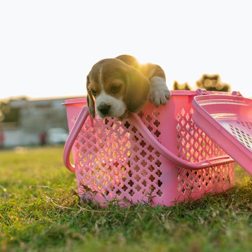 Brown and White Short Coated Small Dog in Pink Plastic Basket on Green Grass