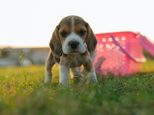 açık hava, av köpeği, bakmak, çim içeren Ücretsiz stok fotoğraf