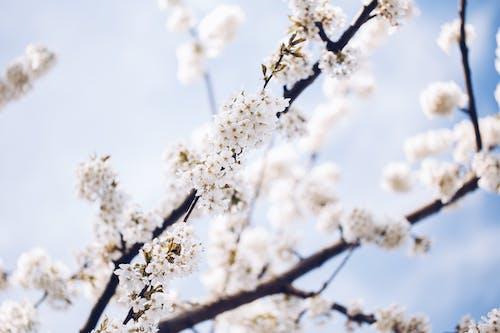 Free stock photo of drzewo, kwiat, wiosna