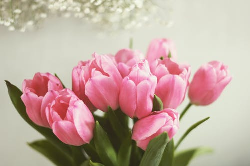 Bunch of fresh pink tulips against white wall