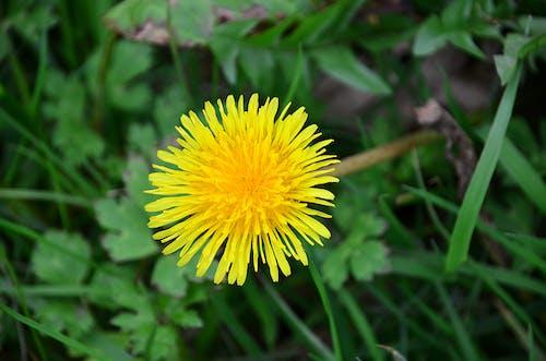 Photos gratuites de botanique, campagne, dent de lion, fleur