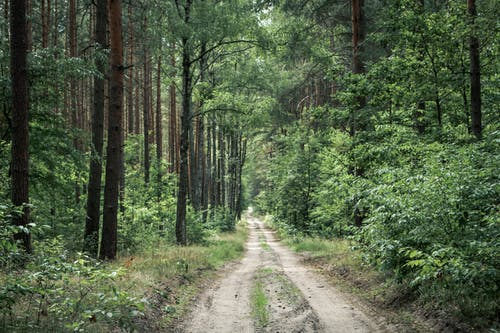 Empty rough pathway amidst lush green plants and tall trees in forest in daytime