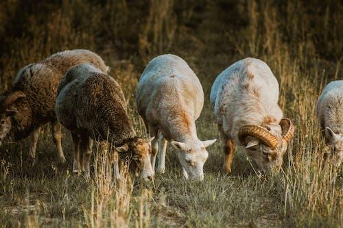 Photo of Goats Grazing on Grass Field