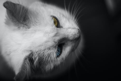 White Cat on Black Background