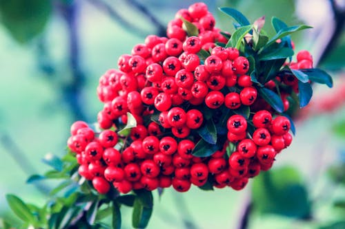 Red berries of Pyracantha coccinea tree growing in garden