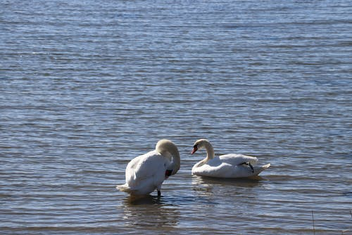Free stock photo of birds, swan, swan lake