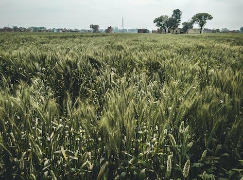 Free stock photo of beautiful sky, colors in india, corn field