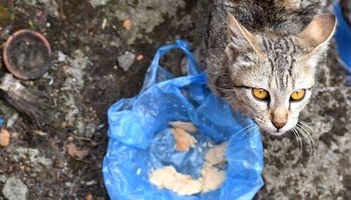 Immagine gratuita di animale, animale domestico, cibo, gatto