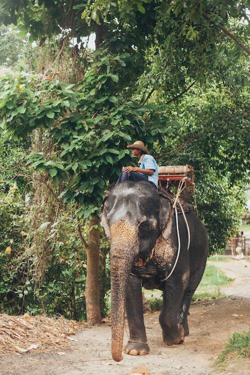 Man in Blue Shirt Riding on Black Elephant