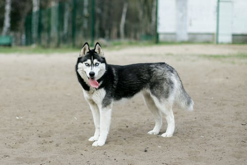 Black and White Siberian Husky on Brown Sand
