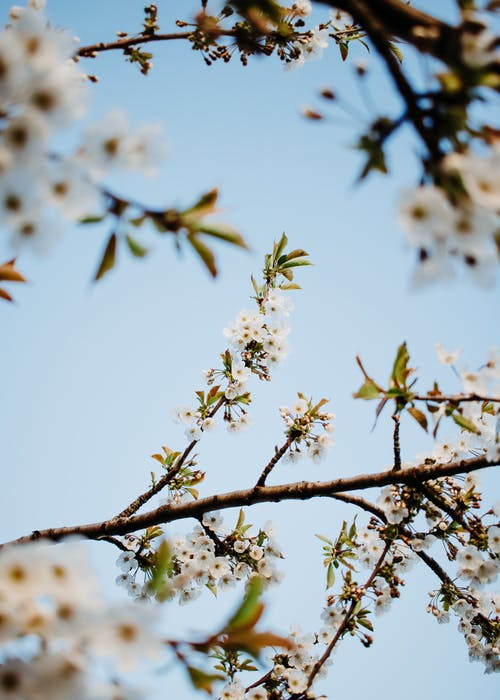 White Flowers on Brown Tree Branches