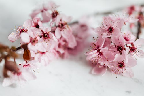 Delicate twig with blooming pink Blossoms