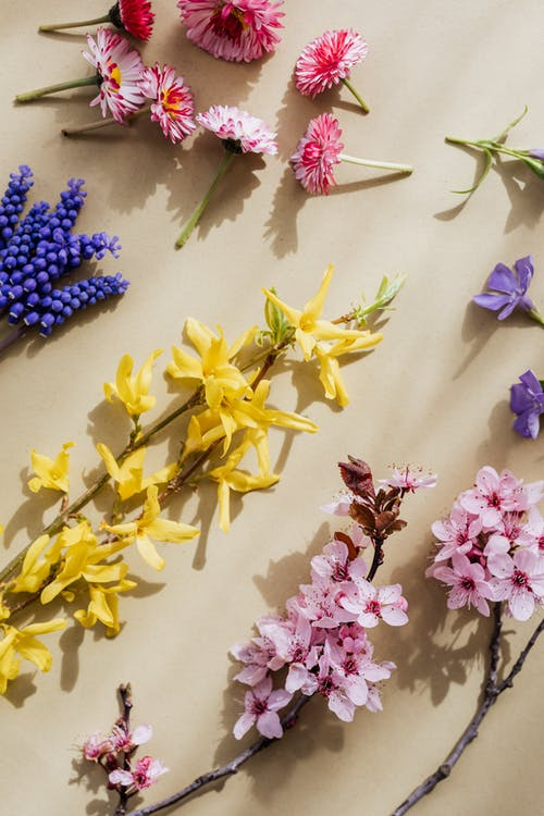 From above composition of bright yellow Forsythia and pink Blossoms arranged with pink Peonies  and blue Muscari lying on beige background