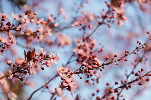 Cherry blossoms blooming against blue sky