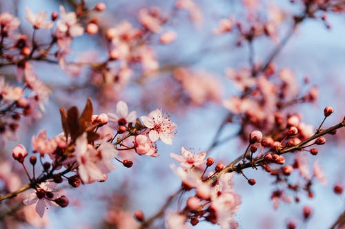 From below of thin branch of blooming sakura tree against blurred cloudless sky