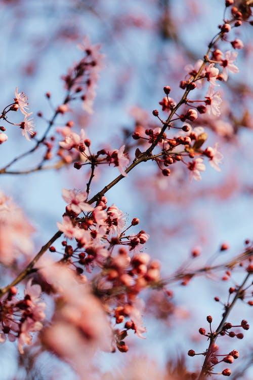 Blooming flowers on plum tree in spring