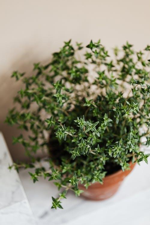 Fresh thyme in ceramic pot on shelf