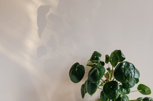 Green leaves of plant against white wall