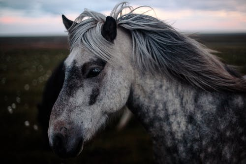 Grey and White Horse Close up