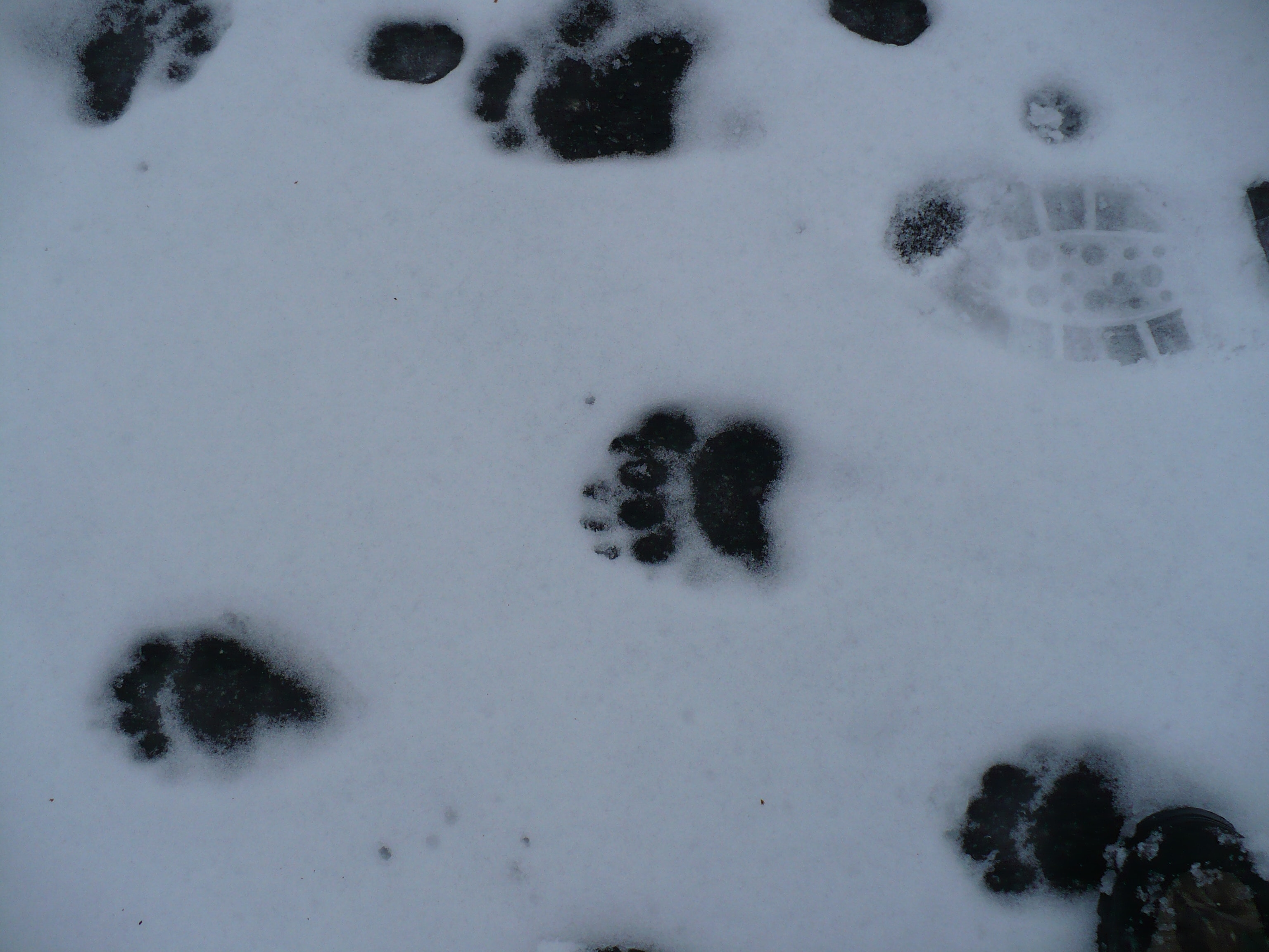 Free stock photo of bear, paw prints, snow