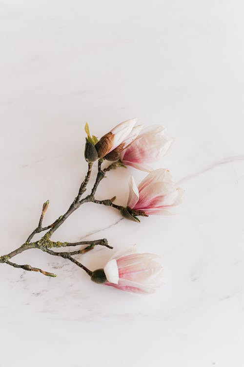 Twig with tender Magnolia flowers
