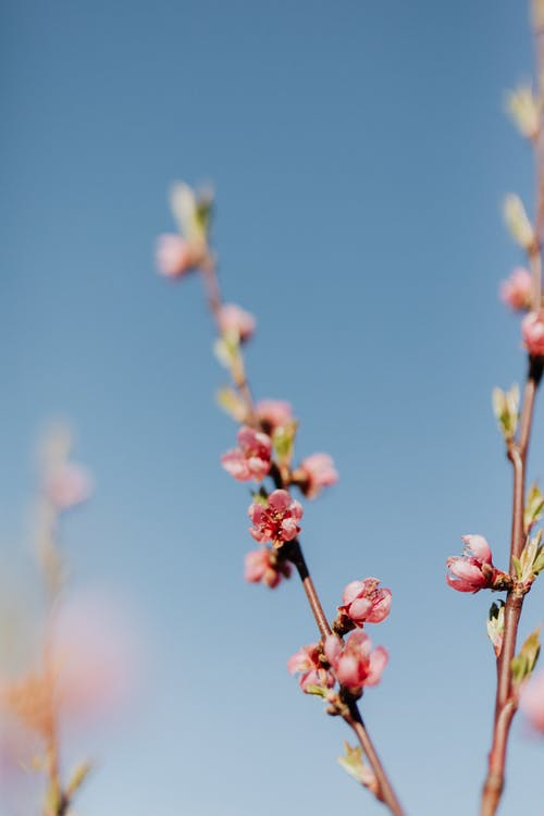 Thin peach branch with tender pink blossoms against clear blue sky on sunny day