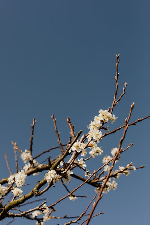 From below of apricot tree branch with white flowers against blue sky on spring day