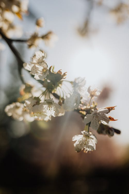Blooming cherry branch on sunny day