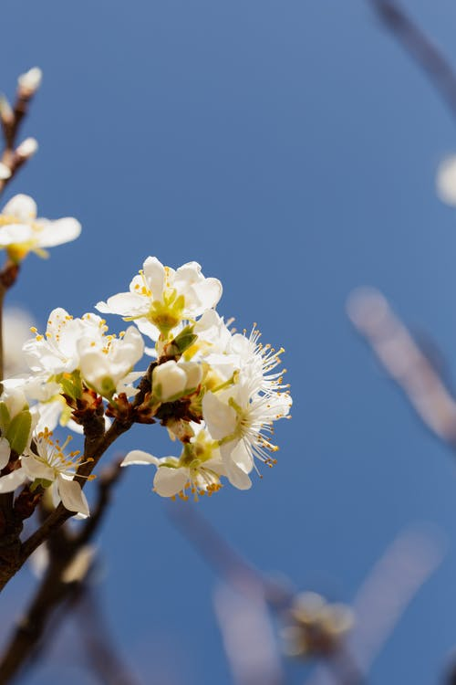 Cherry twig with white flowers