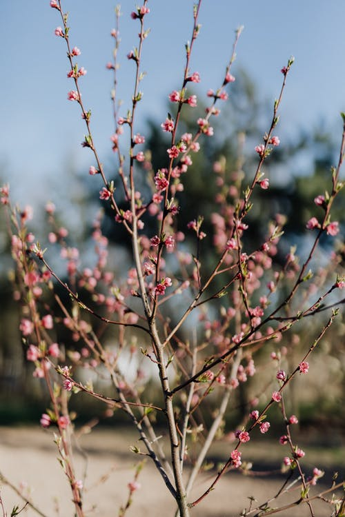 Peach tree covered with pink blossoms