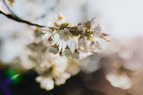 Twig with beautiful white blossoms in garden