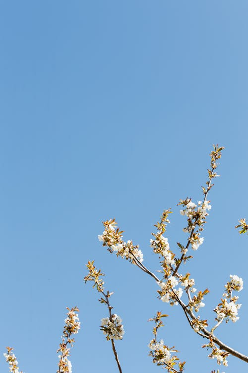 Thin blossoming branches in rural orchard under blue sky