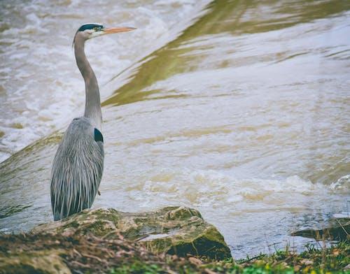Grey Heron on Rock Near Water