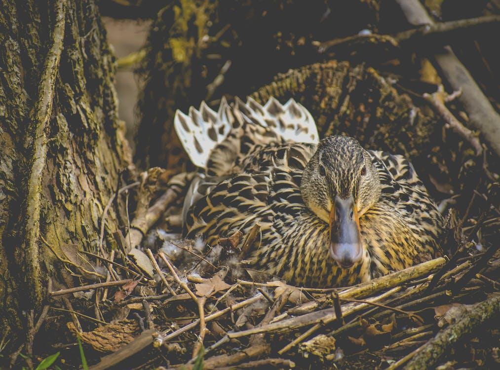Photo of Brown Mallard on Nest