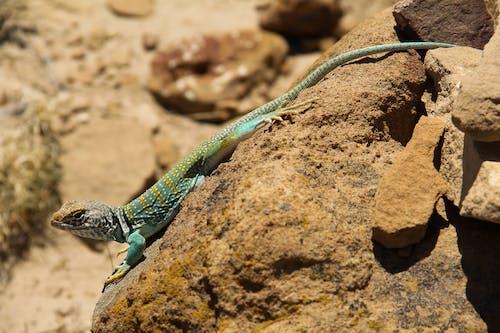 Lizard on Brown Rock
