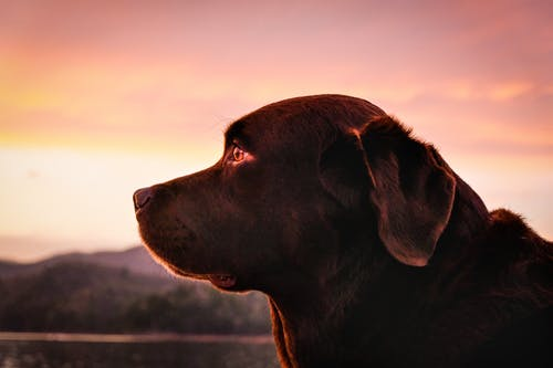 Close-Up Photo of Brown Labrador Retriever