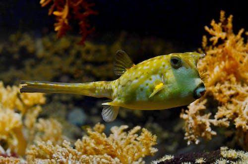 Yellow and White Puffer Fish
