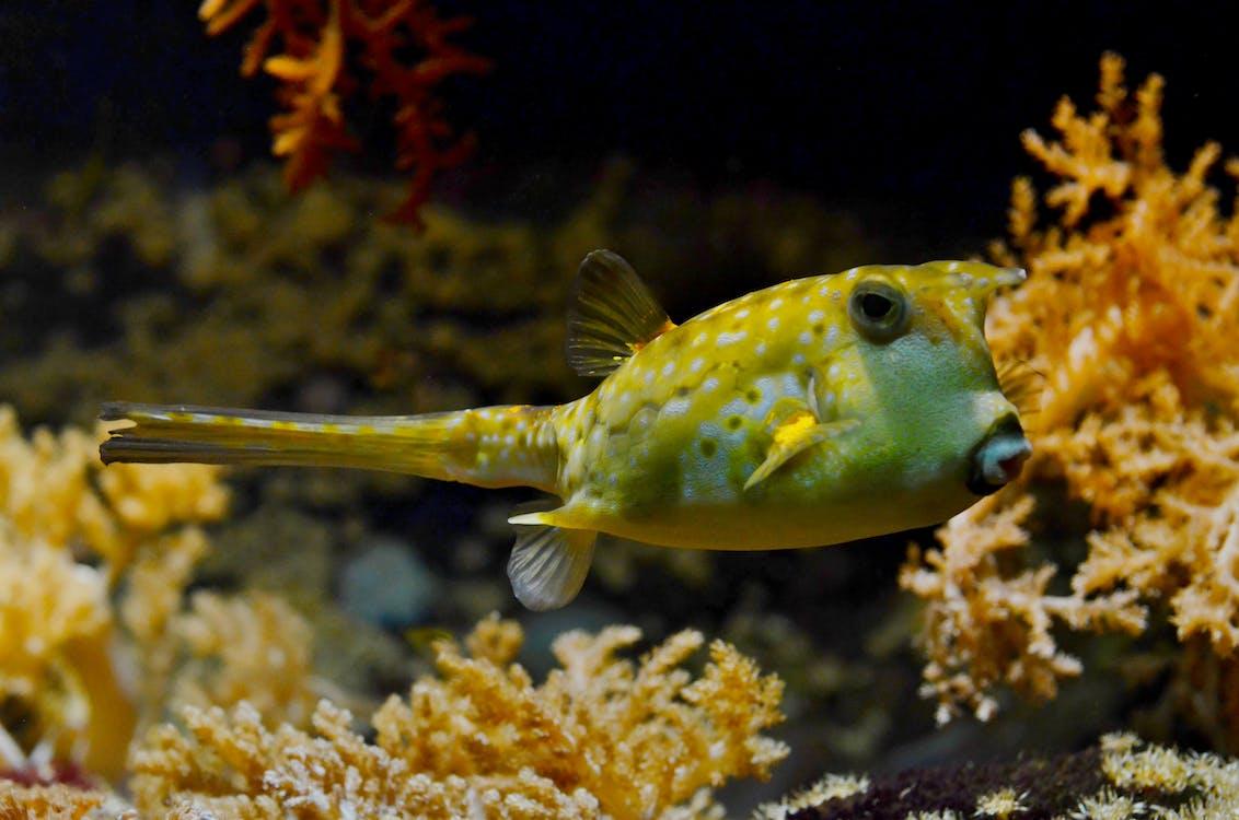balloonfish, koraly, more
