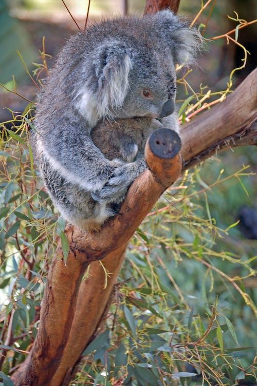 Ilmainen kuvapankkikuva tunnisteilla australia, Koala, matkustaa, pussieläin