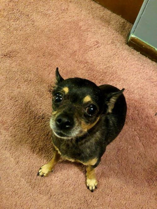 Free stock photo of chihuahua, cute, dog