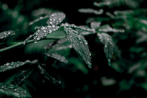 Water Drops on Dark Green Leaves